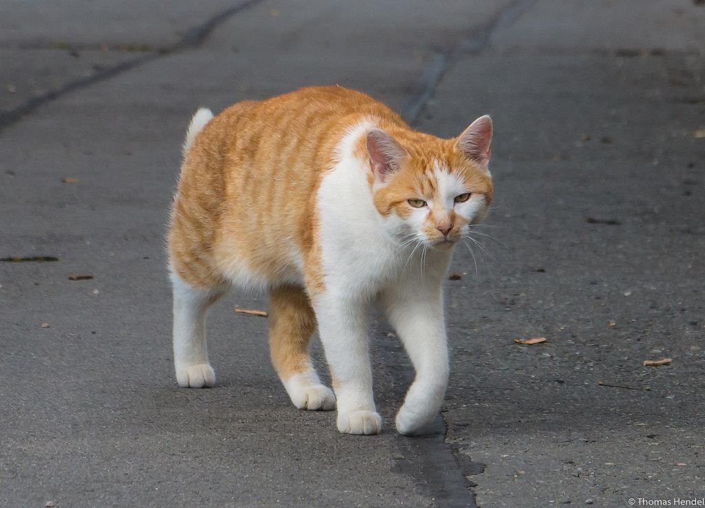 AT-AT cat