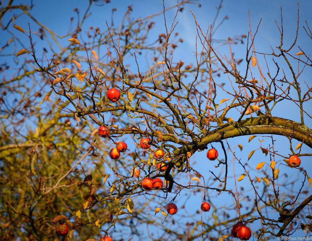 Last Apples.
