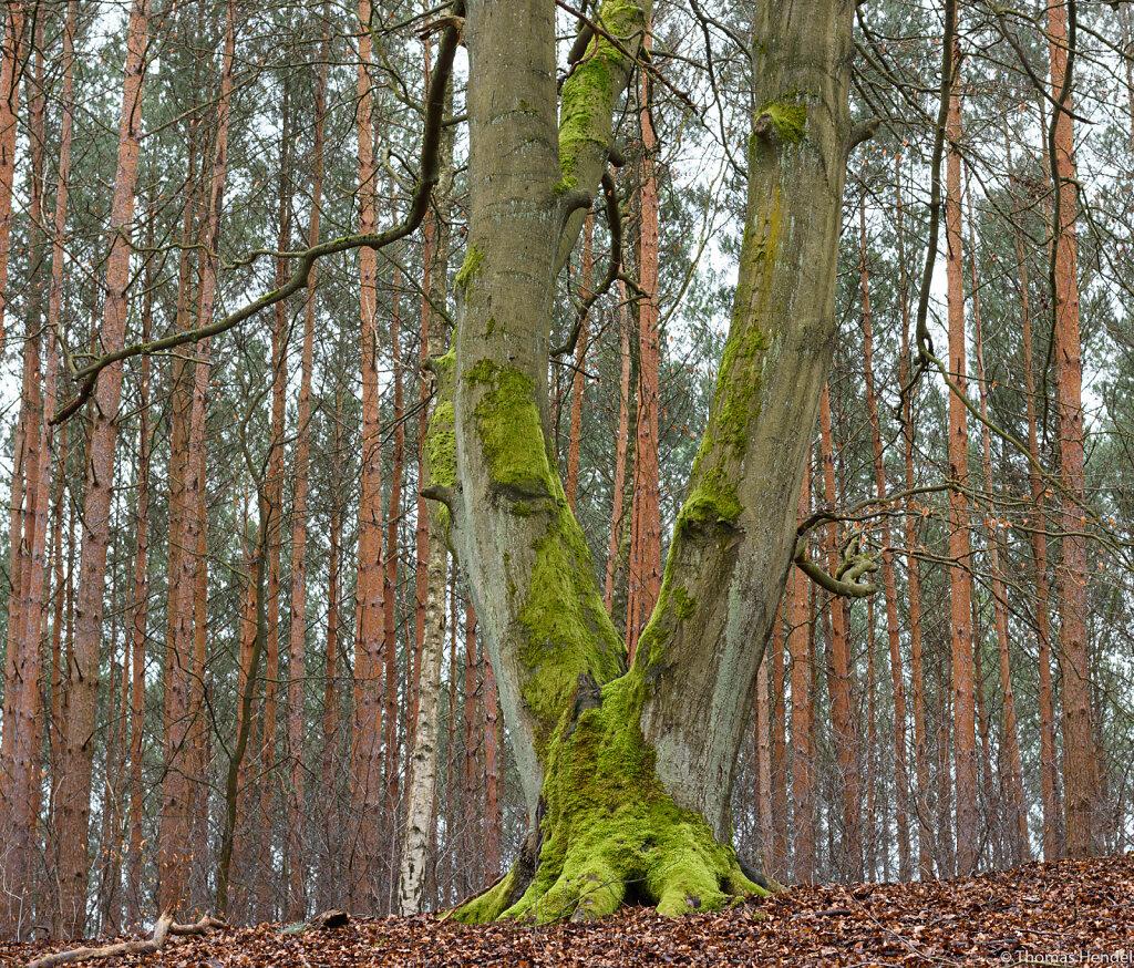 V - Victory Tree.